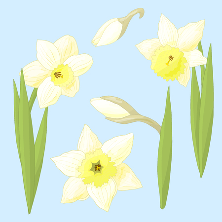 Vector spring flowers daffodils on blue background