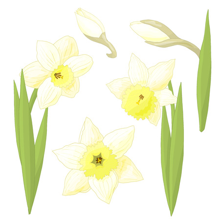Vector spring flowers daffodils on white background