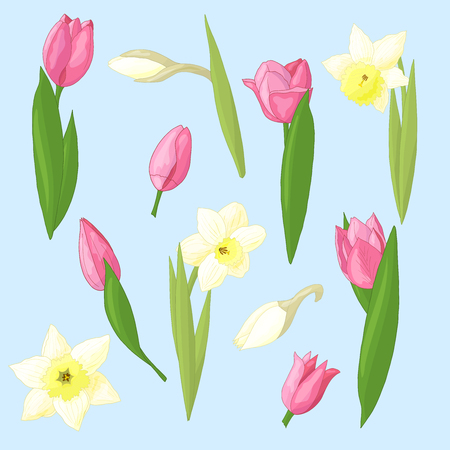 Vector set of beautiful spring pink tulips and white daffodils on blue background