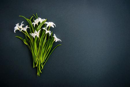Kleine weiße Frühlingsblumen Chionodoxa auf dunkelgrünem Hintergrund mit Kopierraum