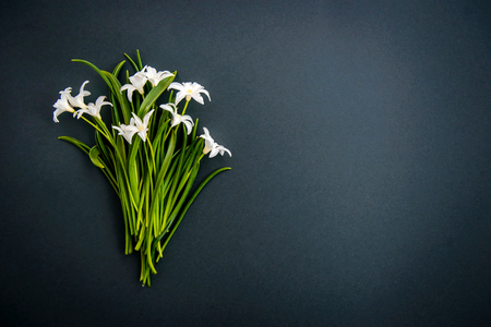 Small white spring flowers Chionodoxa on a dark green background with copy space
