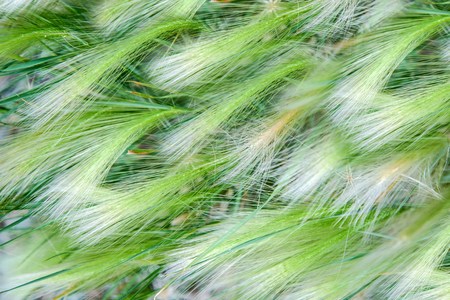 Abstract background of fluffy green spikelets, blurred background Standard-Bild - 125735555