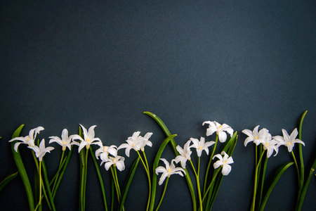 Small white spring flowers Chionodoxa on a dark green background with copy space Standard-Bild - 125735558