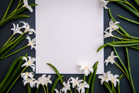 Small white spring flowers Chionodoxa and a piece of paper on a dark green background with copy space Standard-Bild - 125735553