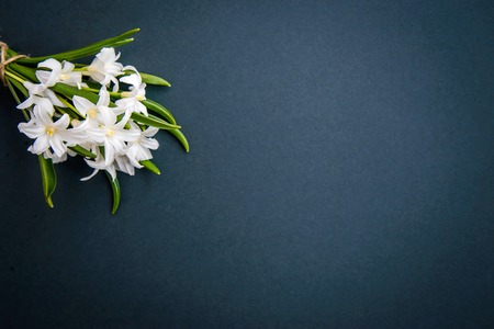 Small white spring flowers Chionodoxa on a dark green background with copy space Standard-Bild - 125735562