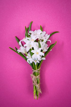 Bouquet of small white spring flowers Chionodoxa on pink background Standard-Bild - 125735563