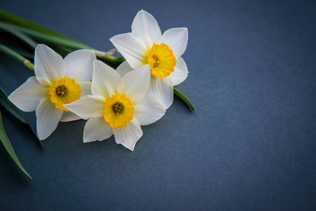 Beautiful three white with yellow daffodils on dark background with copy space Standard-Bild - 125735569