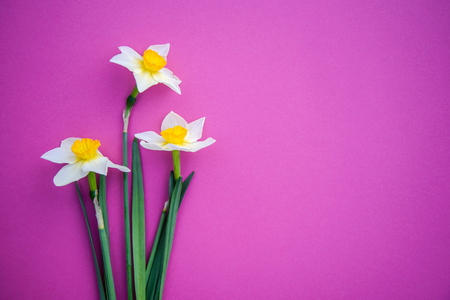Beautiful three white with yellow daffodils on a bright pink background with copy space Standard-Bild - 125735572