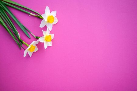 Beautiful three white with yellow daffodils on a bright pink background with copy space Standard-Bild - 125735635
