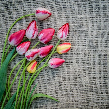 Beautiful bouquet of bright pink and yellow colorful tulips on canvas background, greeting card Standard-Bild - 125735638