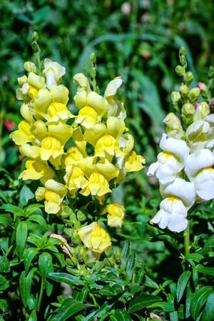 Yellow and white Snapdragon flowers in the garden in green grass Standard-Bild - 125735756