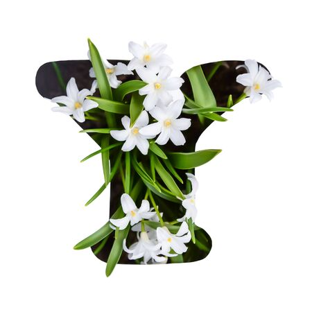 The letter Y of the English alphabet of small white chionodoxa flowers Standard-Bild - 126265807