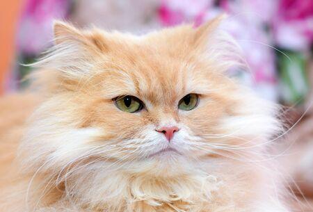 Portrait of a large fluffy beautiful cute red domestic cat close-up Standard-Bild - 127667909