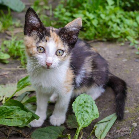 Cute fluffy little tricolor kitten in the garden in the grass in summer Standard-Bild - 127655750