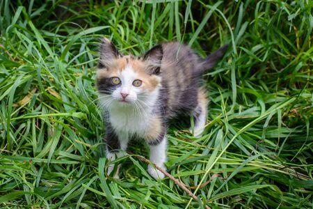 Cute fluffy little tricolor kitten in the garden in the grass in summer Standard-Bild - 127655754