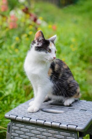 Cute tricolor kitten on a chair in a summer green garden