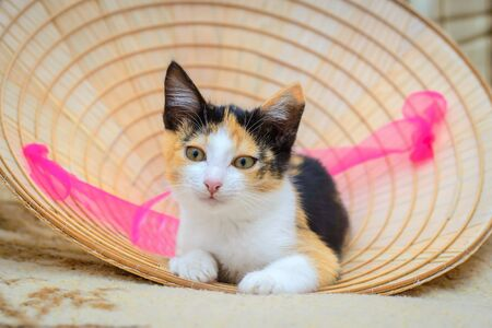 Cute tricolor kitten lies on the background of a straw hat with a pink ribbon 스톡 콘텐츠