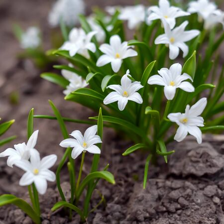 Spring photo with beautiful small flowers chionodoxa with green leaves in the soil in the garden or forest Фото со стока