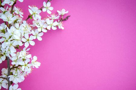 Blooming cherry branch with white flowers on a pink background, spring greeting card, copy space