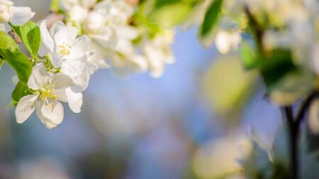 Spring horizontal photo with white flowers of a blooming Apple branch on a blurred background, with a copy space for text