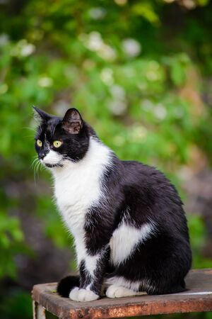 Portrait of a black and white sitting cat with listening ears on a blurred green background in the garden