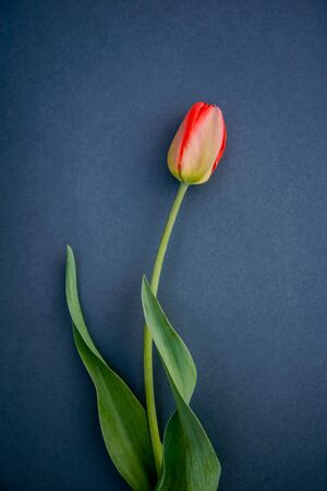 One red Tulip on a dark gray background, vertical photo, postcard design, cover, print