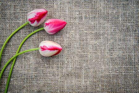 Beautiful bouquet of bright pink colorful tulips on canvas background with copy space