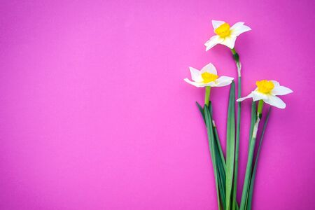 Beautiful three white with yellow daffodils on a bright pink background with copy space