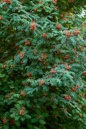 Vertical background with a green rowan bush with red berries