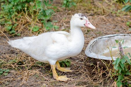 A white duck with yellow legs stands in the grass in the village in the poultry yard