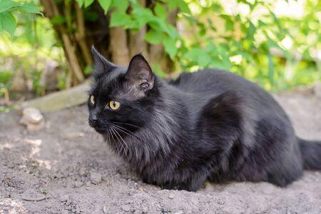 Beautiful black fluffy domestic cat lying in summer garden close up