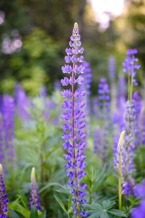 Beautiful purple lupine flowers in the forest, summer nature Reklamní fotografie