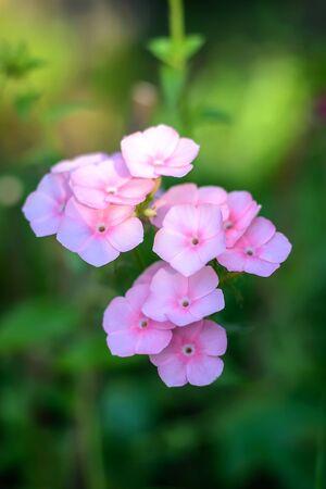 Beautiful soft pink Phlox close up, summer nature Reklamní fotografie