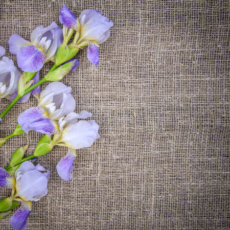 Beautiful purple flowers irises on a gray canvas background, copy space