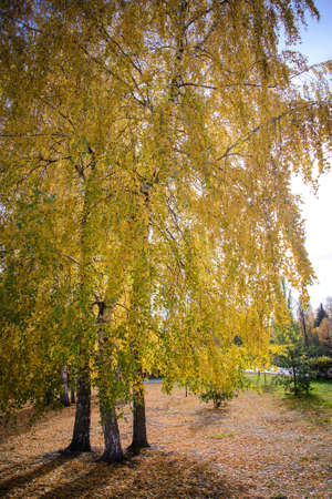 Yellow autumn landscape with birches in the park on sunny days