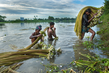labouring: Farmers prepare bundles of Nymphaea rubra also know as Water Lily, Shapla. Munshiganj, Bangladesh. Editorial