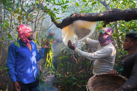 labouring: Honey collectors locally known as Mawal break a honeycomb to get honey in the Sundarbans, a UNESCO World Heritage Site and a wildlife sanctuary.
