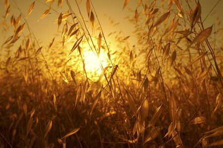 back lighting: pleasant fire sunset back lighting through dry plants  cereals like plants creating a warm orange atmosphere