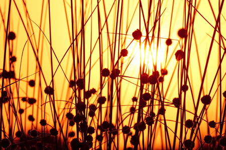 solstice: a capture of the sun through a batch of plants stalks stem