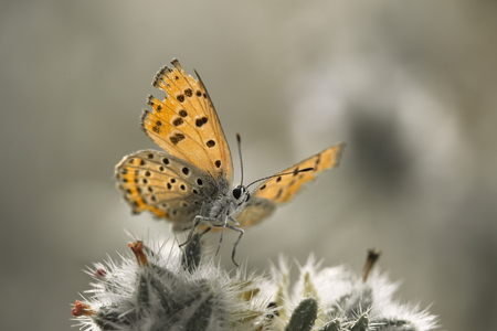 spread wings: orange butterfly spread wings above snow white plant Stock Photo