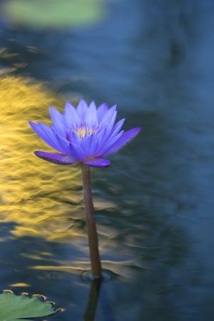 impressive: a beautiful impressive tropical exotic blue waterlily shot.