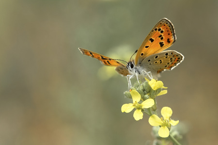 lycaena: a close-up of an orange black dotted butterfly standing on a flower Lycaena asabinus Stock Photo