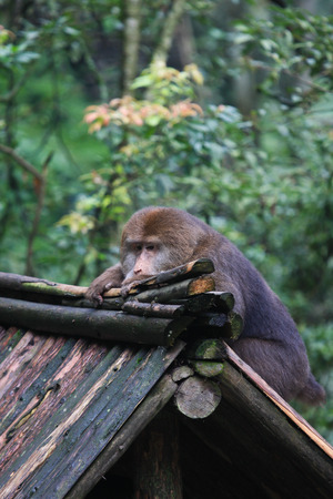 Monkey hanging on wooden rooftop Stock Photo