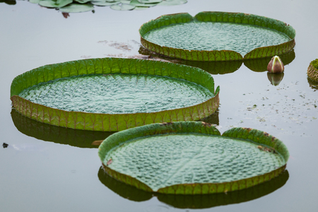 Floating water lily leaves Stock Photo
