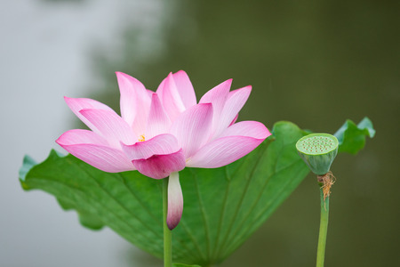The wind blows the lotus
