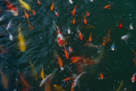 Asian koi swimming in the pond