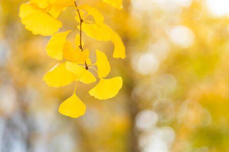 Autumn golden ginkgo leaves background 写真素材
