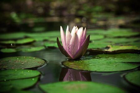 кувшинка: Water lily Фото со стока