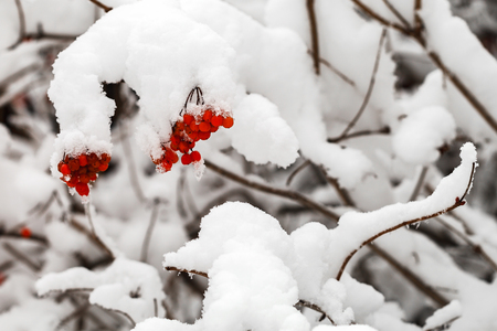 The branches with fruits of red viburnum are covered with snow