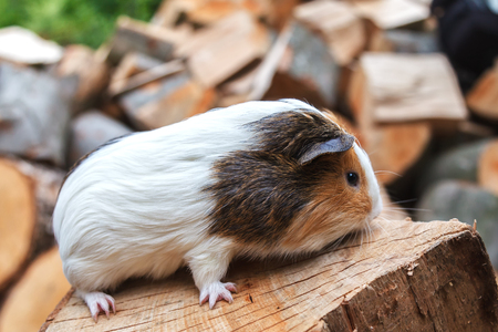 A beautiful, small white-red guinea pig sits on a sunny day on a stump. Daylight. Close-up